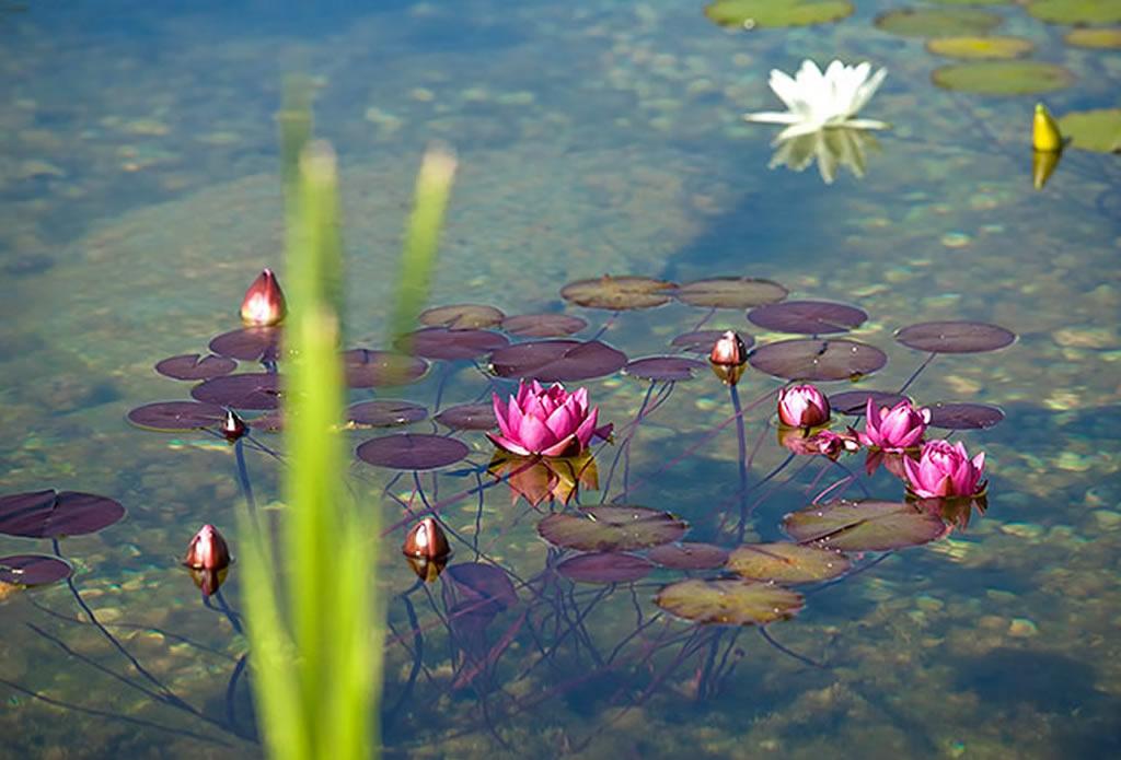 Gartenteich mit Seerosen - Gartenteich, Schwimmteich, Pool - Galeriebild