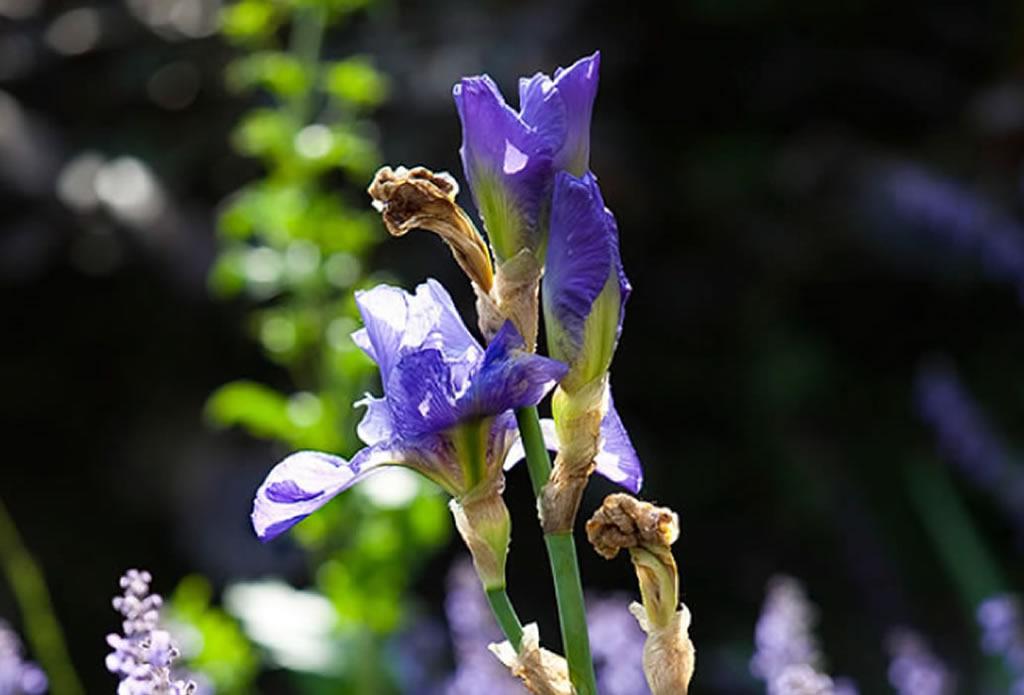 blaue Schwertlilie - mediterraner Garten Galeriebild