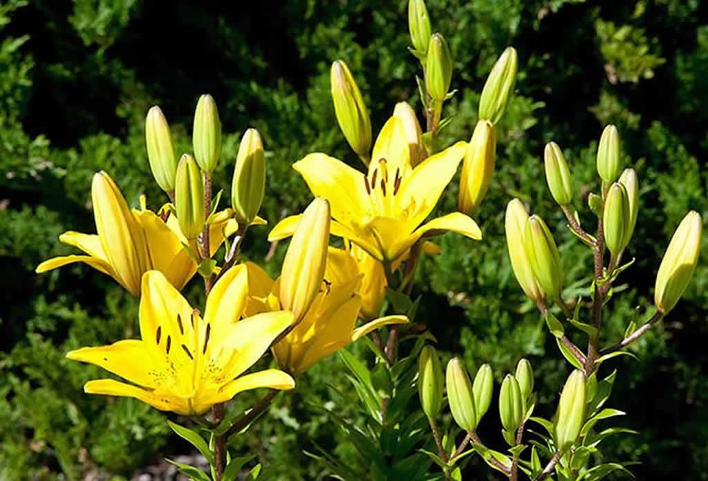 gelbe Lilien - mediterraner Garten Galeriebild
