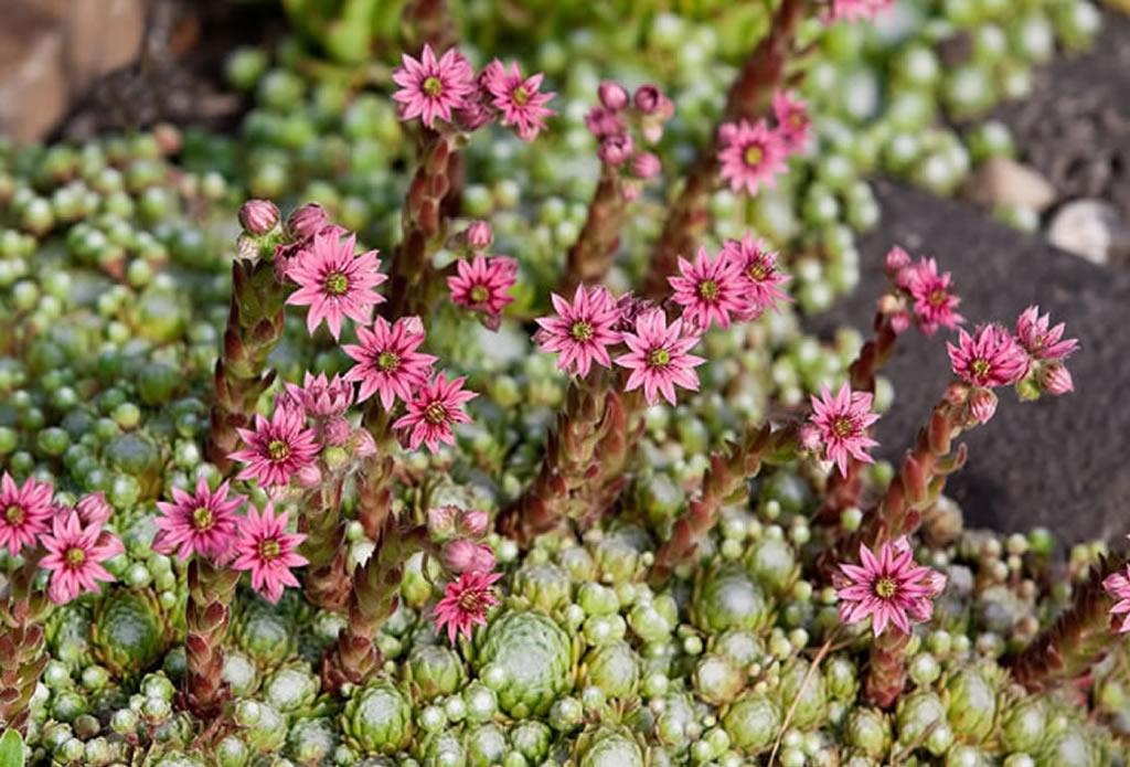 Blüten des Dach-Hauswurz - naturnahe Gärten - Galeriebild