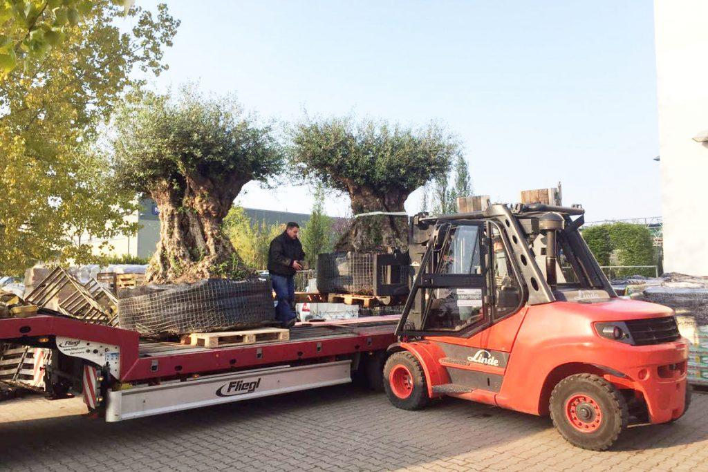 700 Jahre alte Olivenbäume - Transport zum Lagerplatz