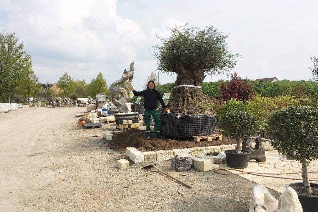 Olivenbaum garten naturstein lpm schmidt krostitz 3 for Gartengestaltung olivenbaum