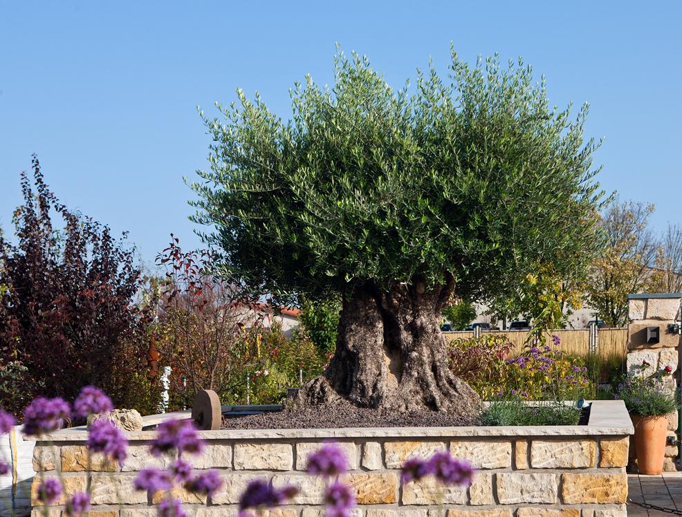 Olivenbaum schaulager krostitz lpm naturstein centrum for Gartengestaltung olivenbaum