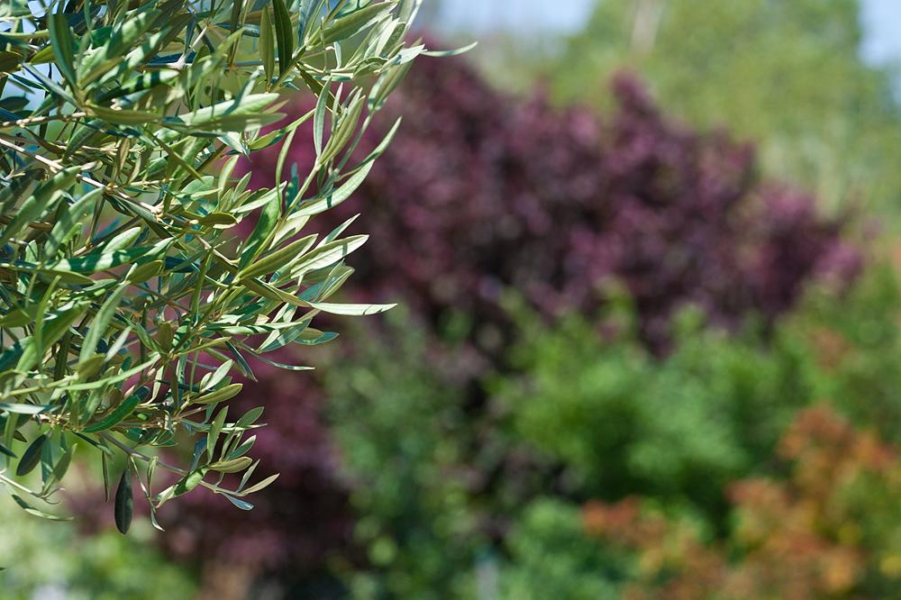 Olivenbaum Startseite Garten Und Landschaftsbau Lpm Schmidt