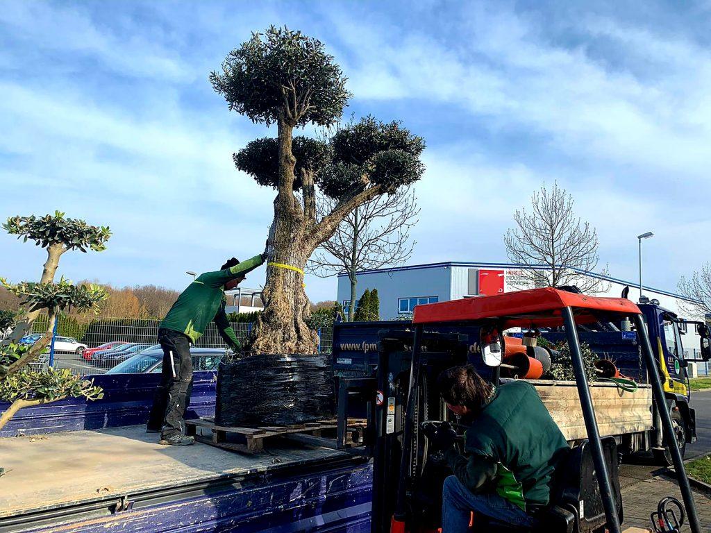 Olivenbaum LPM Garten - und Landschaftsgestaltung Krostitz bei Leipzig