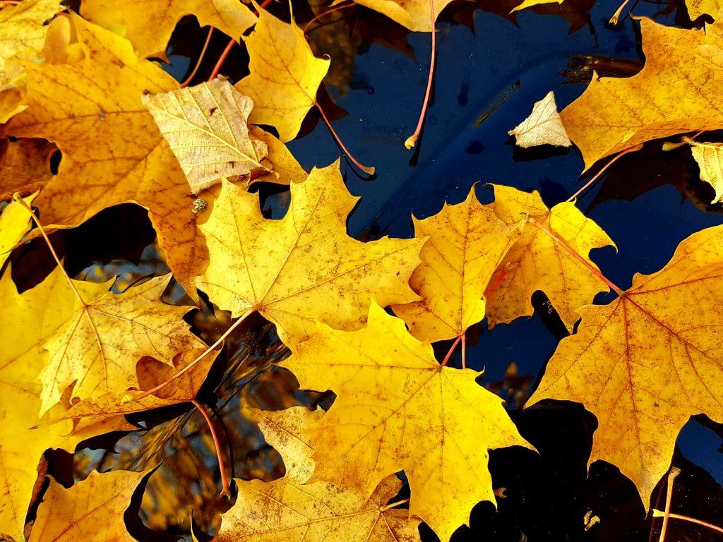 Leuchtende Blätter in der Herbstzeit