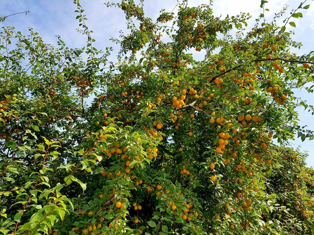 Früchte im September